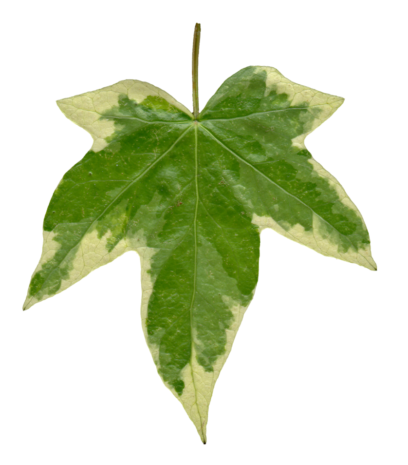 Ivy texture png. Leaf front by hhh