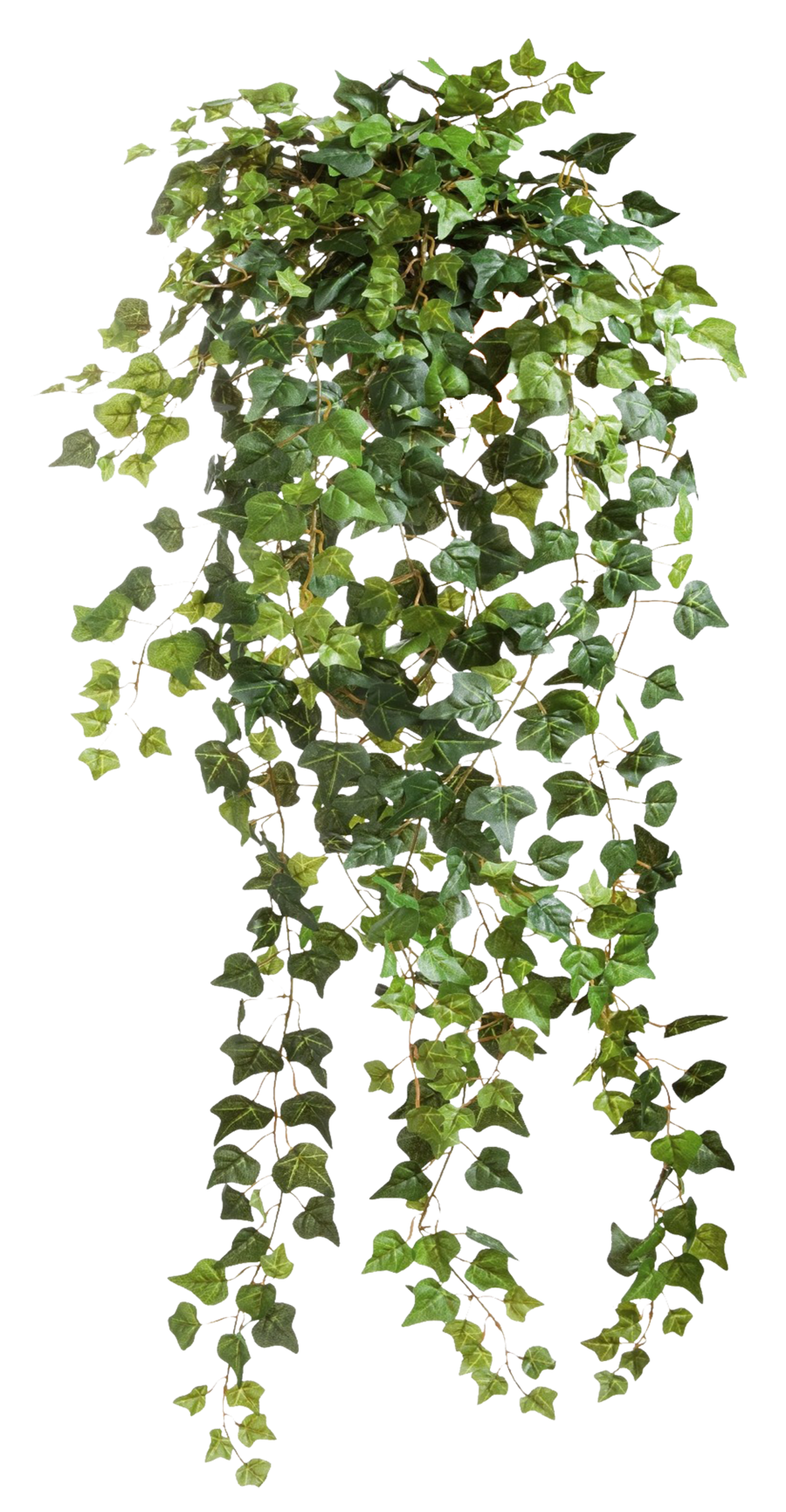 Ivy vine png. Vines transparent pictures free