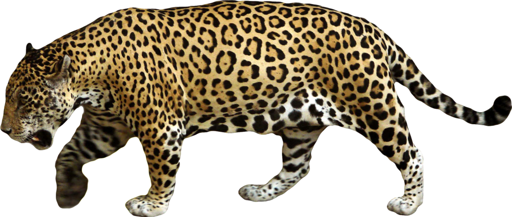 Jaguar transparent vector. Png images free download