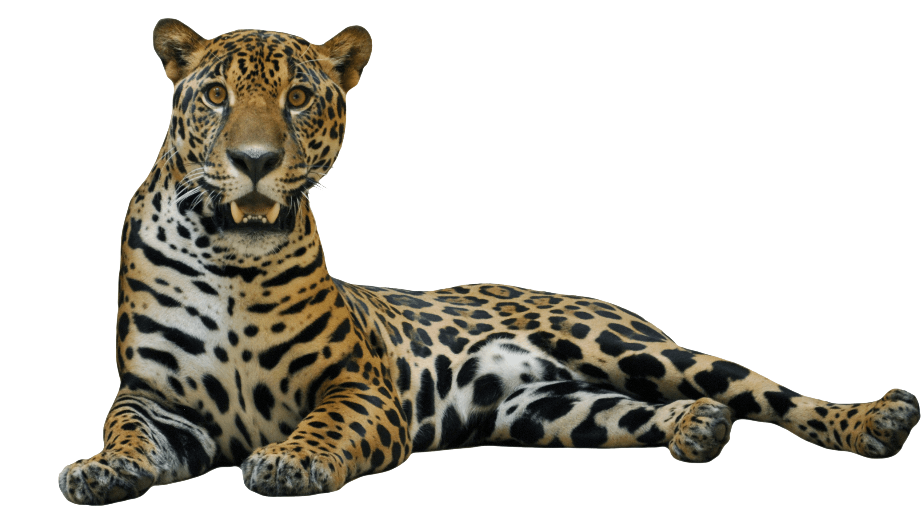 Jaguar animal png. Lying down transparent stickpng