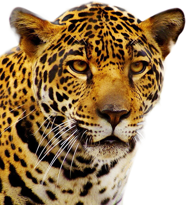 leopard transparent angry