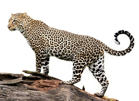 Jaguar transparent vector. Png clipart psd peoplepng