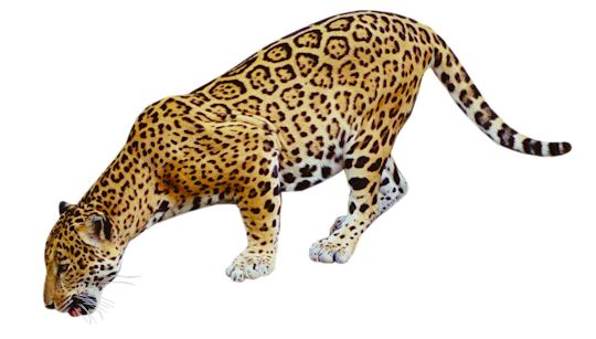 Jaguar transparent background. Png images all free