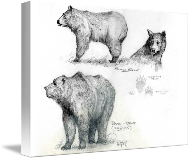 Grizzly drawing charcoal. Merrill coffin bear study