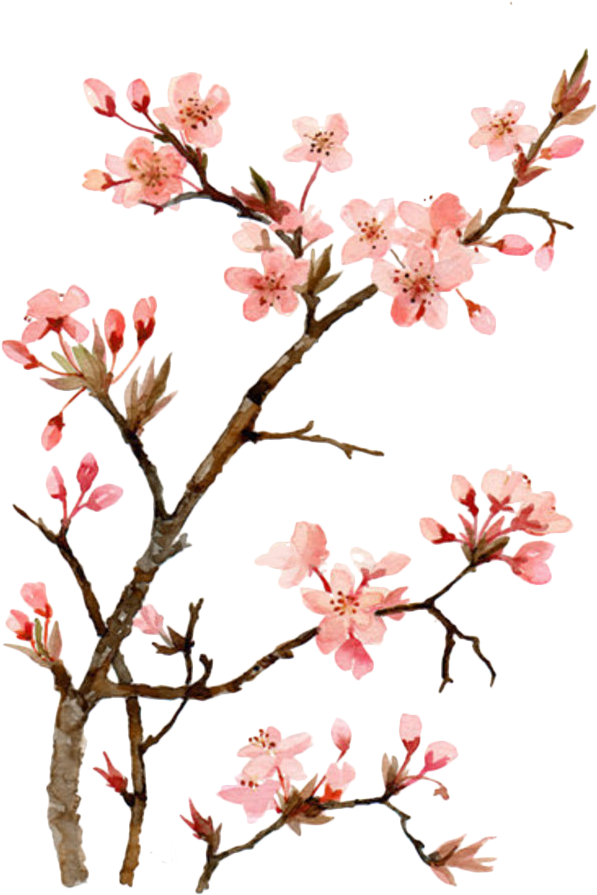 Twig drawing flower. Download hd cherry blossom