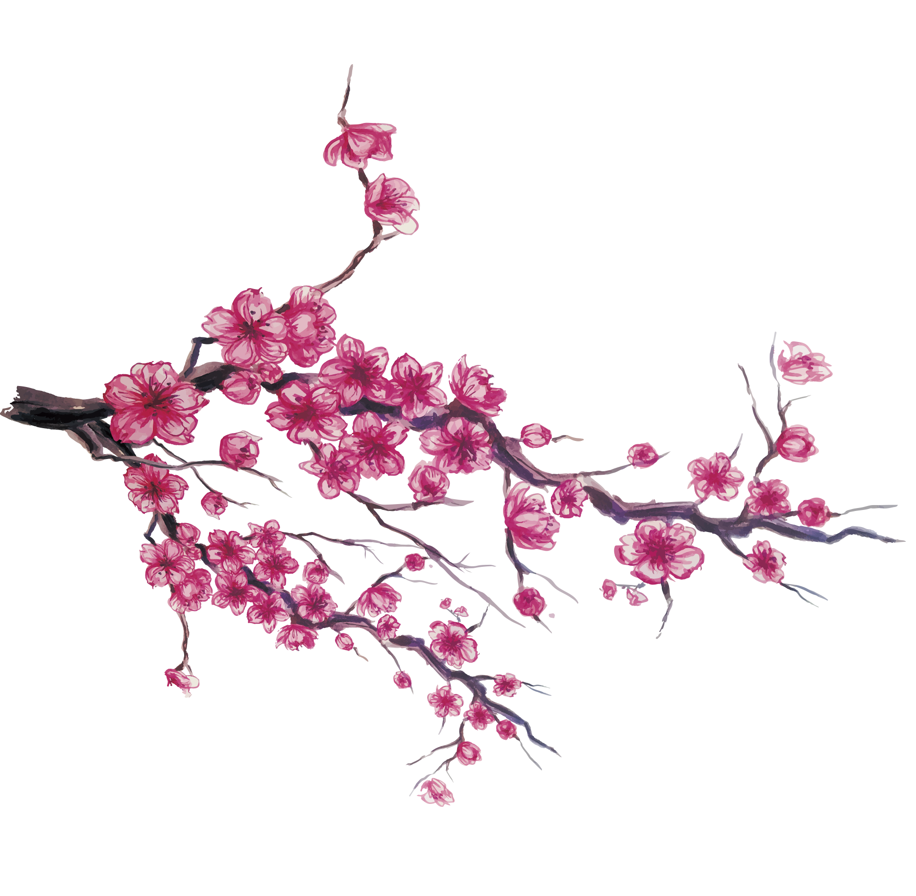 Bud drawing cherry blossom. Japan download hand painted
