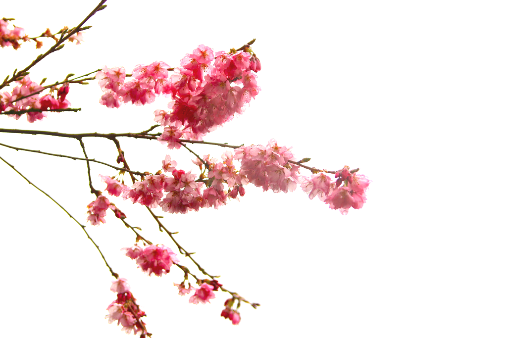 Japanese transparent cherry blossom. Flowers branch of the