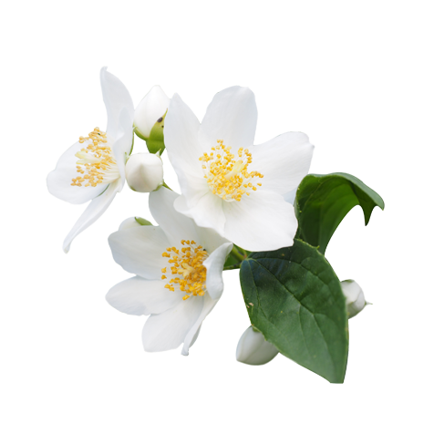 Jasmine flower images pluspng. Flowers transparent png vector free library
