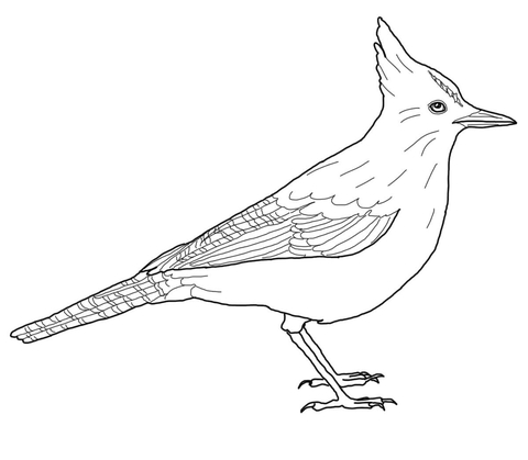 Jay clipart steller's jay. Steller s coloring page