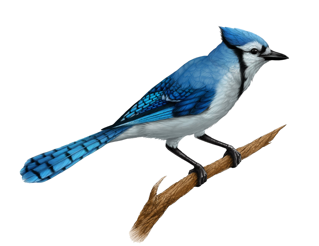 Blue jay png. Juvenile clipart images gallery