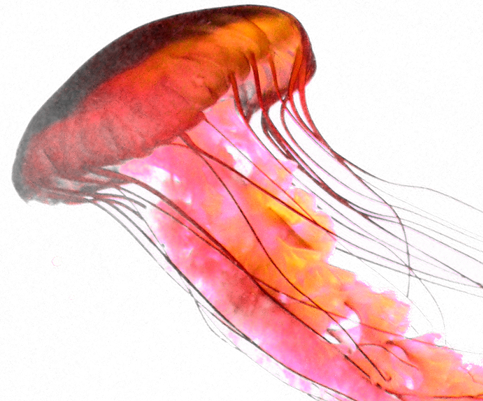 Jellyfish png. Transparent images pluspng photo