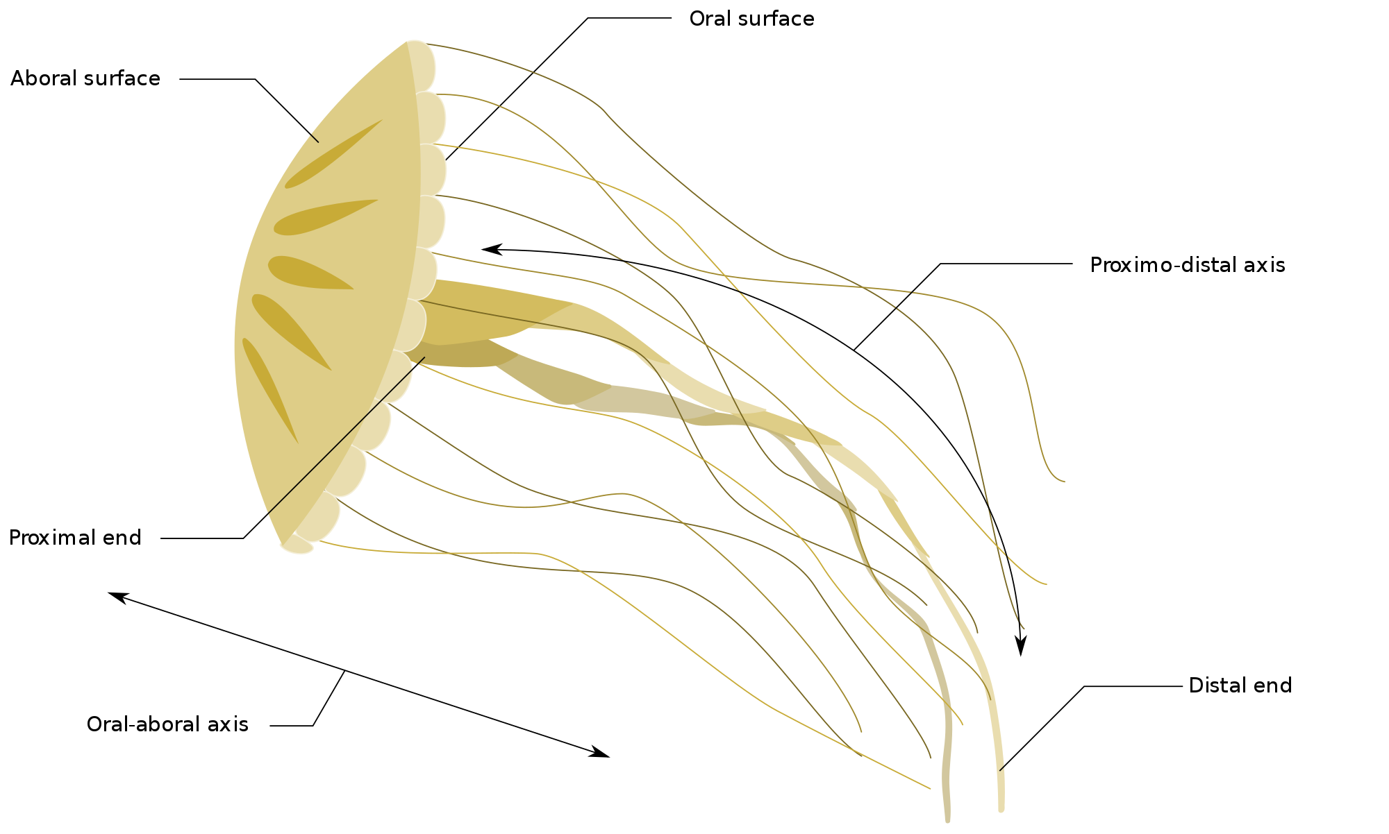 Jellyfish svg file. Axes wikimedia commons open