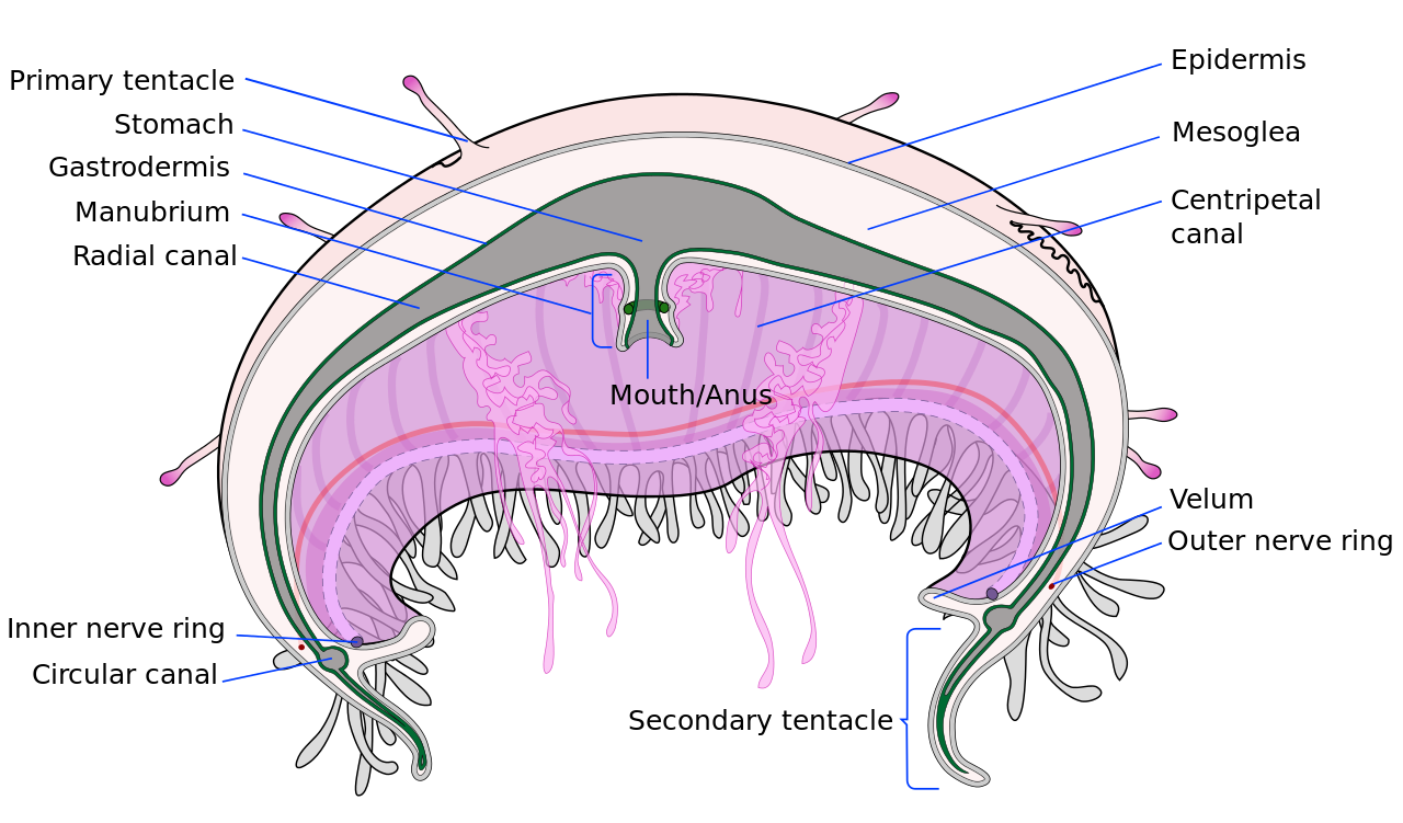File cross section en. Jellyfish tentacle png image freeuse download