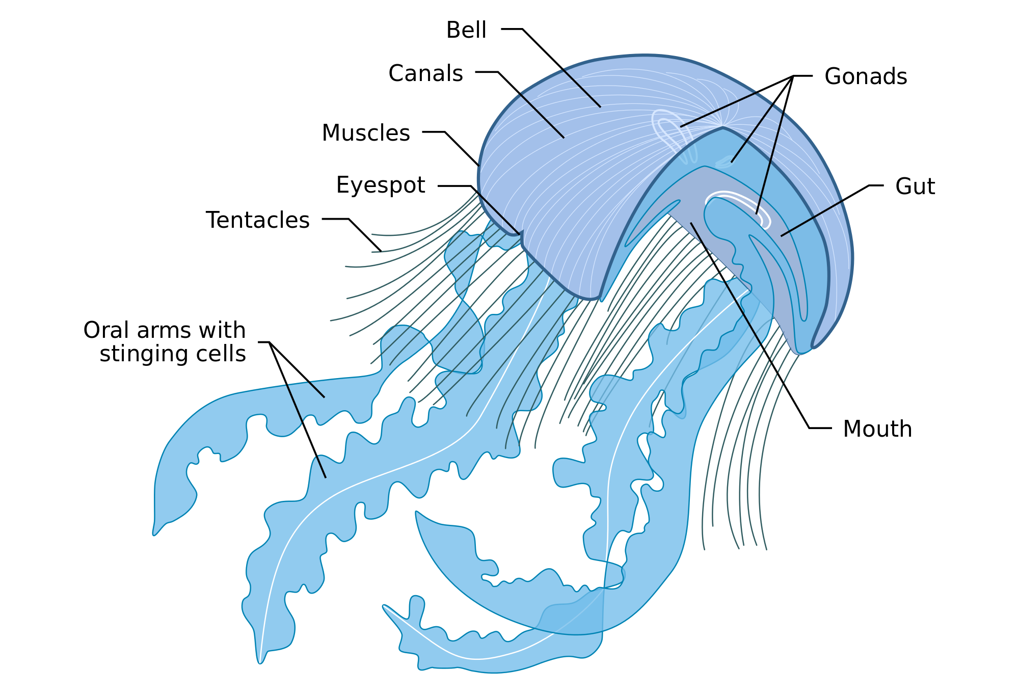 File anatomy of a. Jellyfish tentacles png graphic library stock