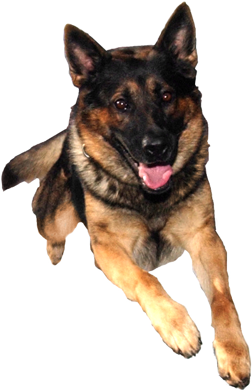 Jumping dog png. Collection of free alsatian