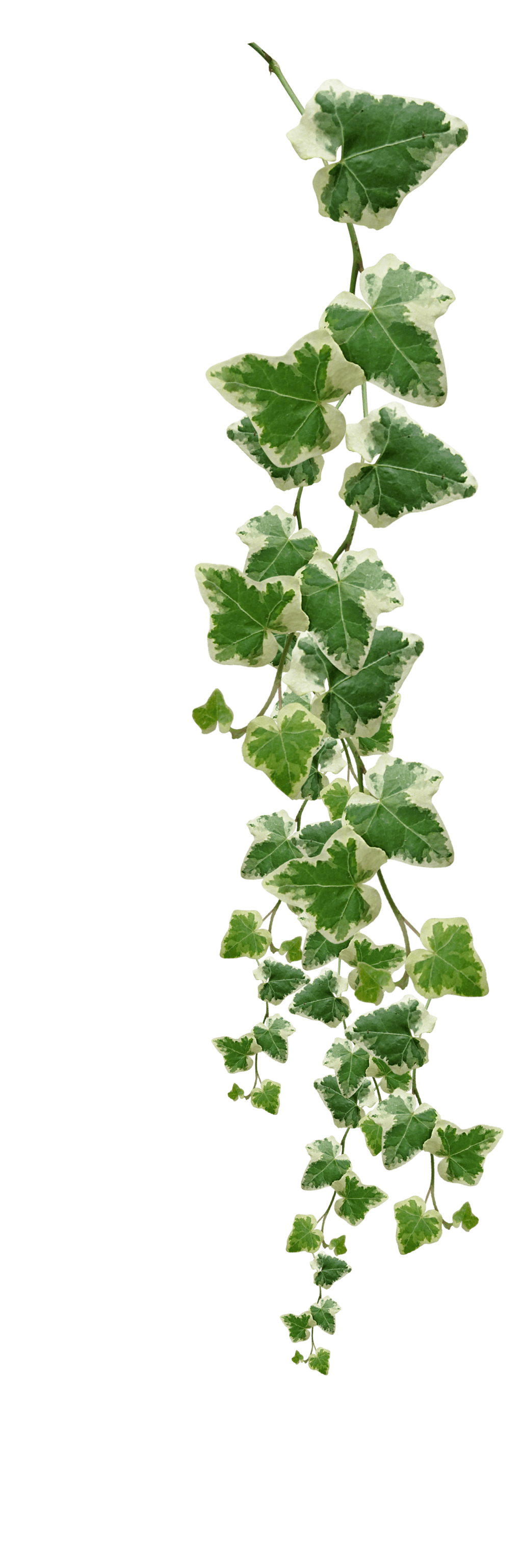 Jungle vine png. Images in collection page