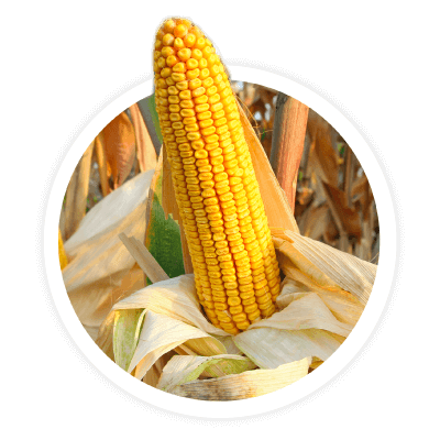 Kernel clipart corn seed. Consultants