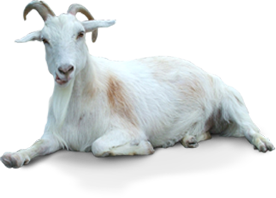 Kids transparent goat. Png images all