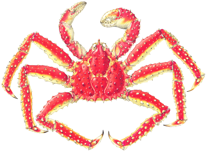 King crab png. The life history of