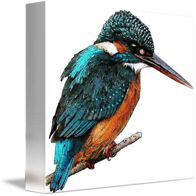 Kingfisher drawing. Common or eurasian by