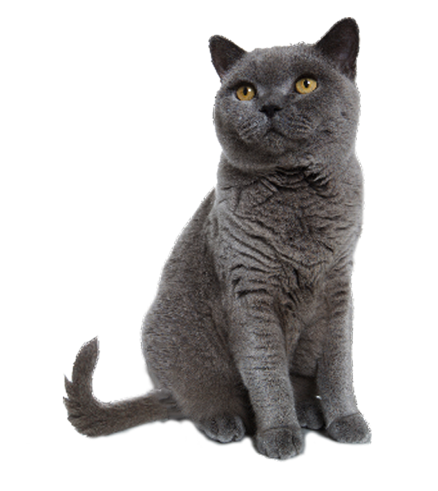 Kitten grey png. Cat and mouse transparent
