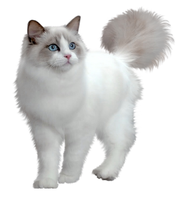 Kitten grey png. Cute white transparent picture