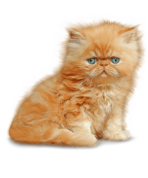 Kittens transparent fluffy. Kitten png images all