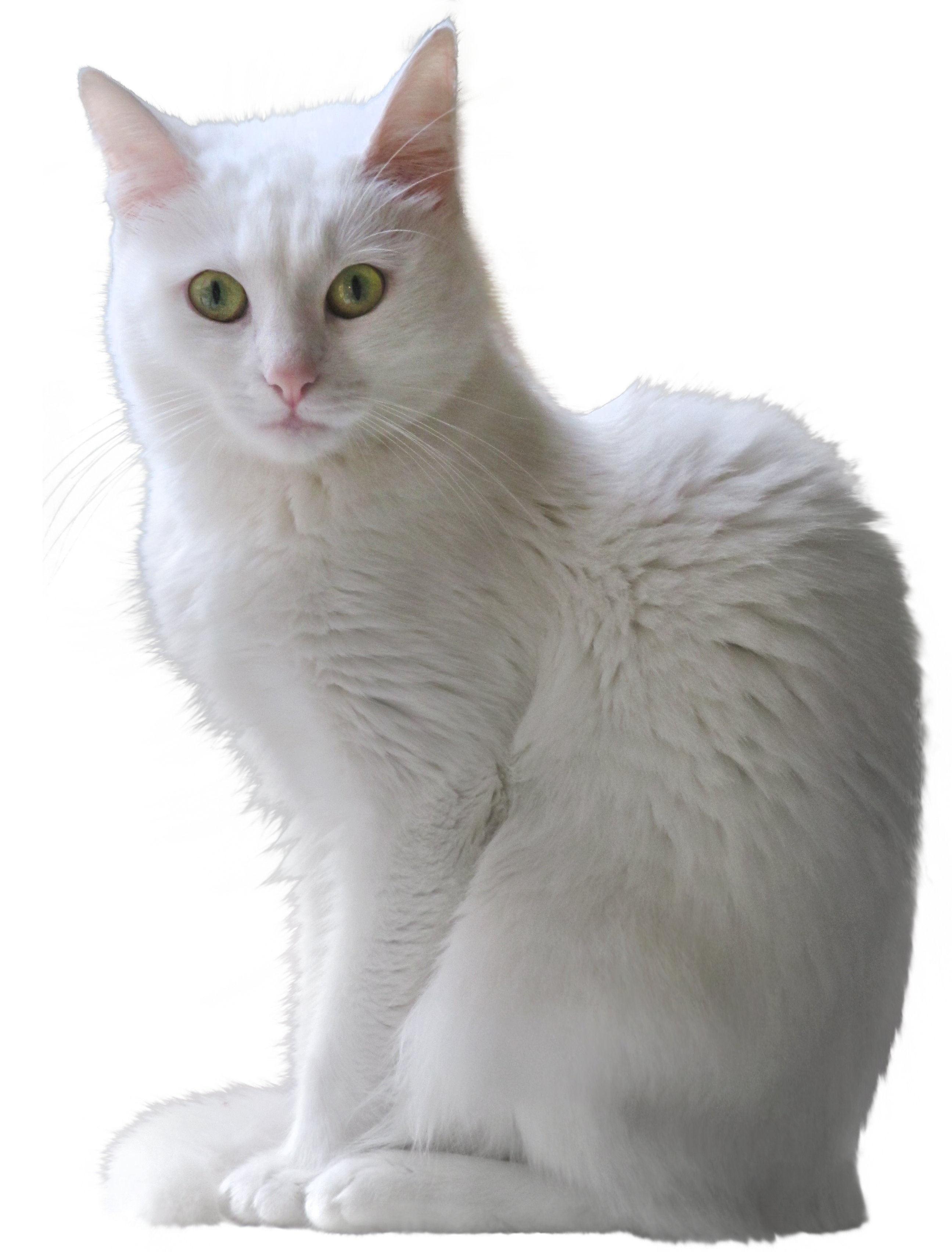 Kitten transparent png. White clipart gallery yopriceville