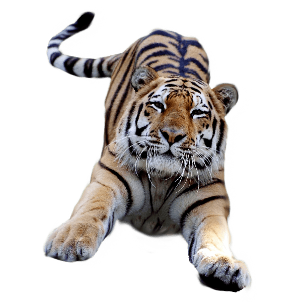 Kittens clipart translucent. Jumping tiger transparent png