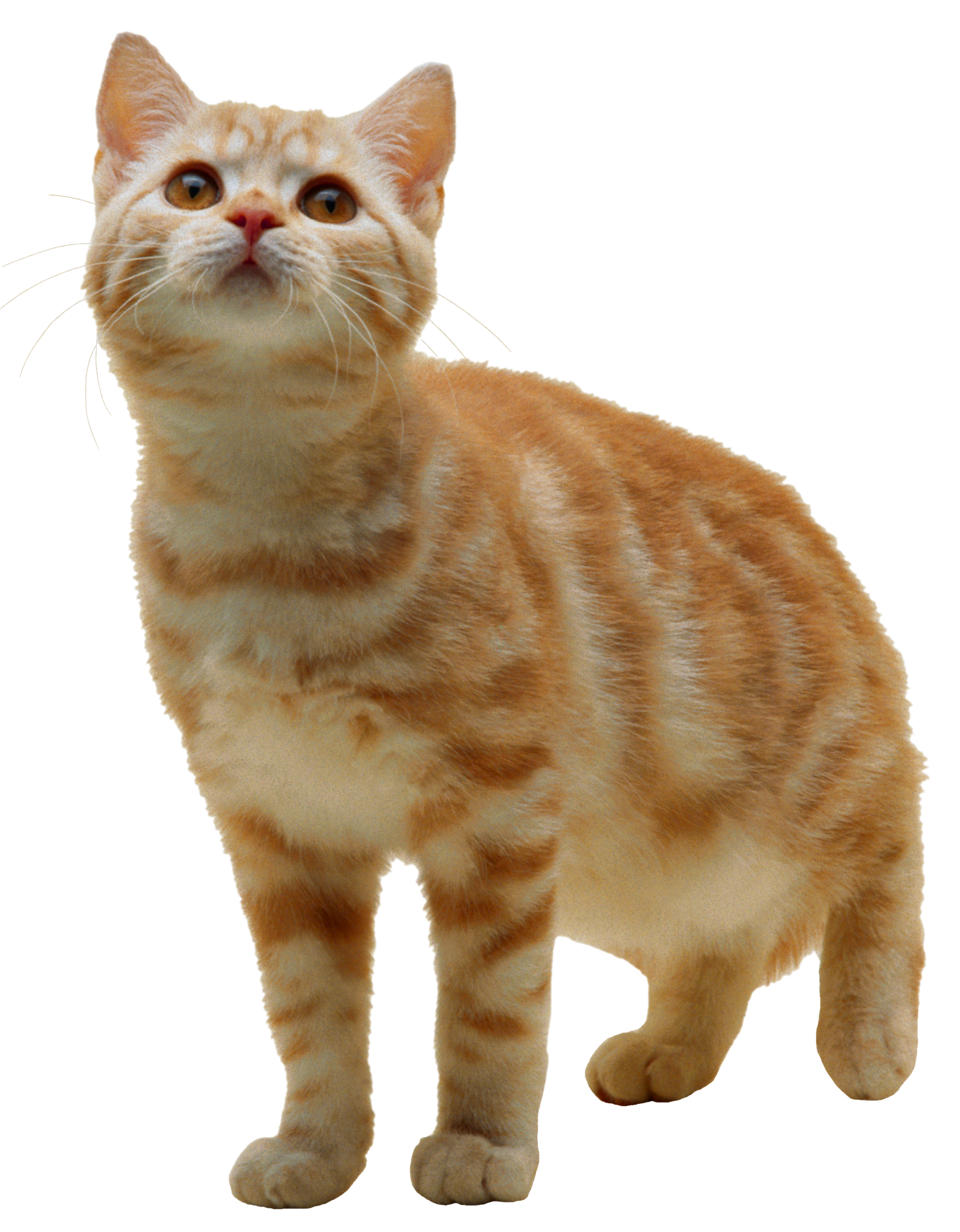 orange cat png