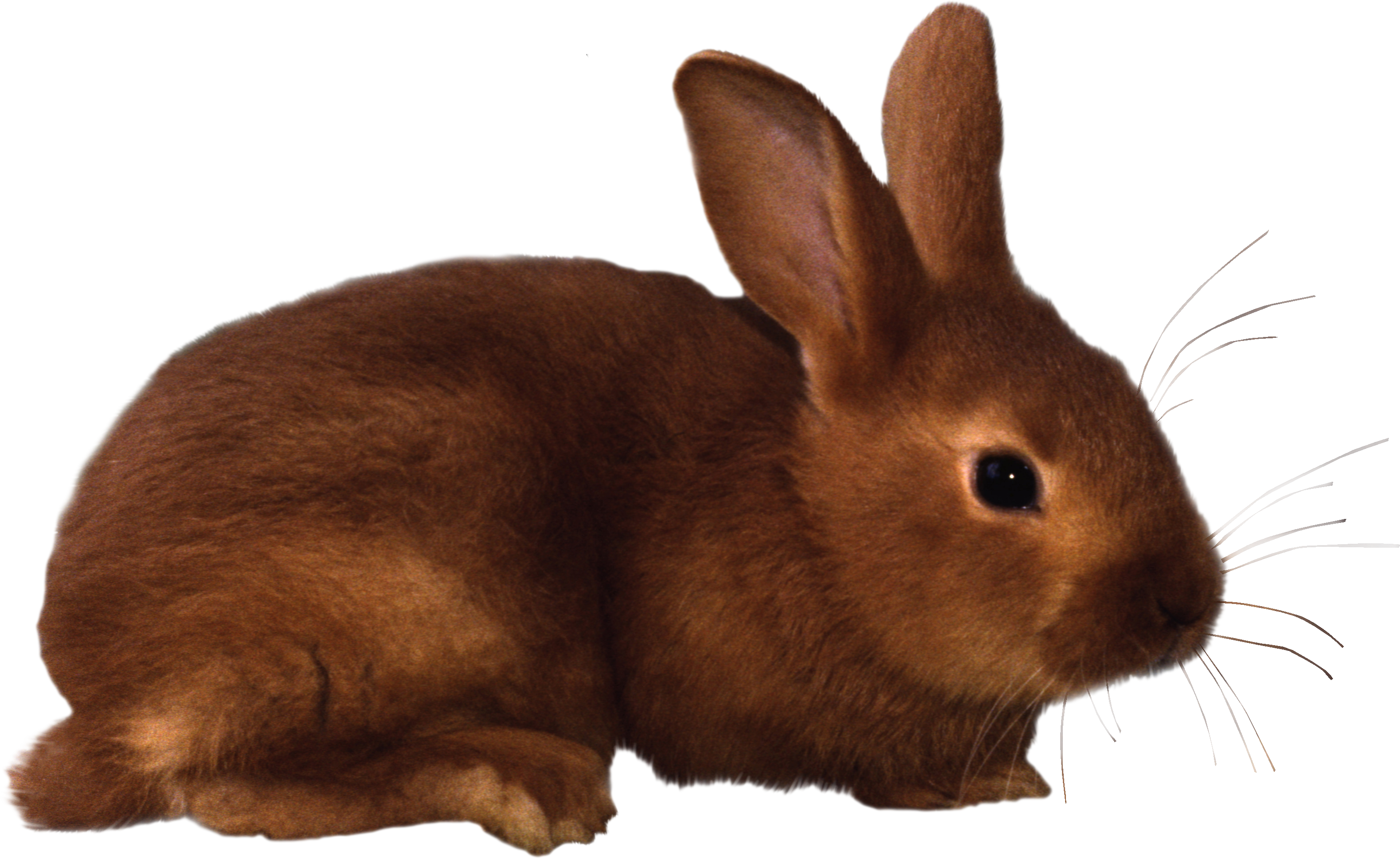 Vector rabbit realistic. Png images free pictures