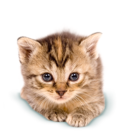 Kittens transparent 4 baby. Cat png images pluspng
