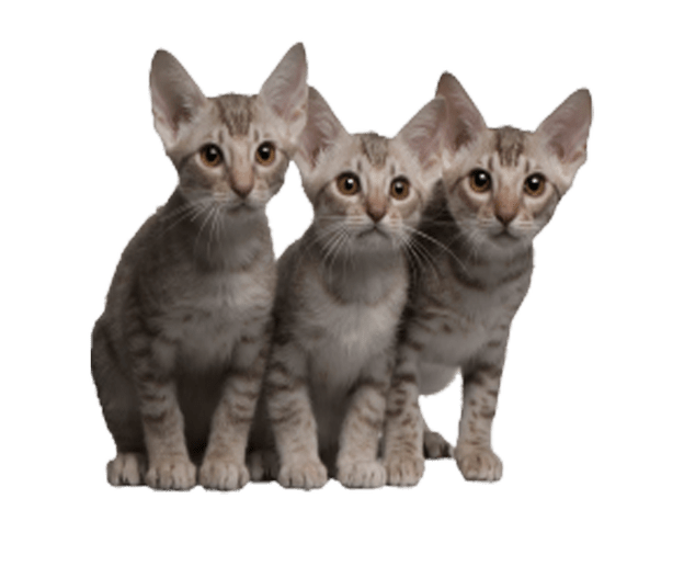 Kittens transparent background. Cats image three looking