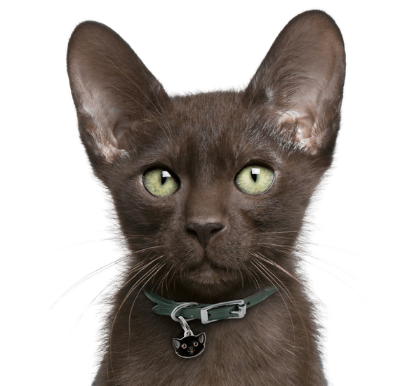 Kittens transparent gray. Havana brown cats search