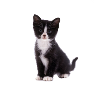 Kittens transparent black. Maine coon cat lovers