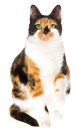 Kittens transparent calico. Cat cards birthday thank
