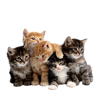 Kittens transparent five. Maine coon cat lovers