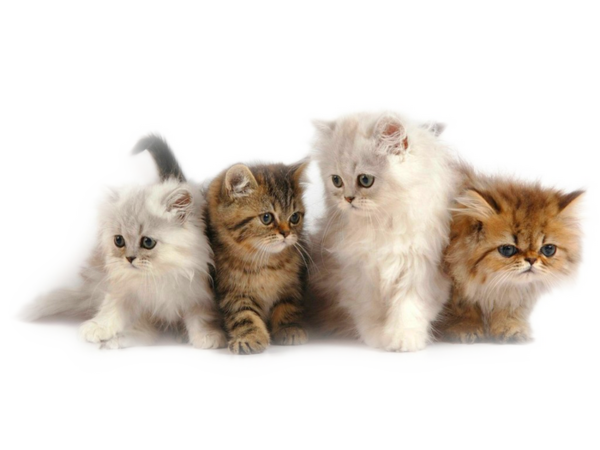 Kittens transparent fluffy. Gifs hermosos animalitos encontrados