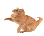 Kittens transparent orange. Cat png clipart free