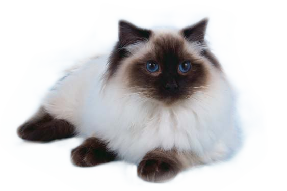 Lion clip ragdoll. Swansearagz cats and kittens