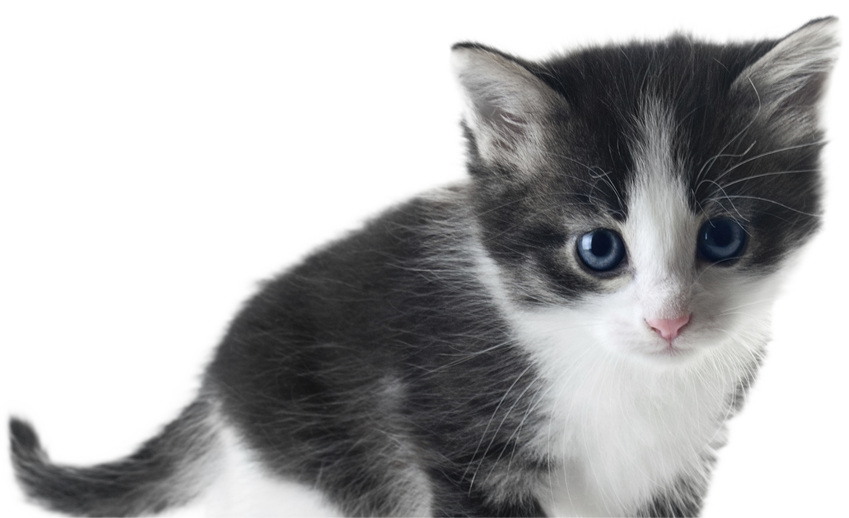 Kittens transparent white. Furrs n purrs home