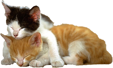 Kitten png images all. Kittens transparent graphic free library