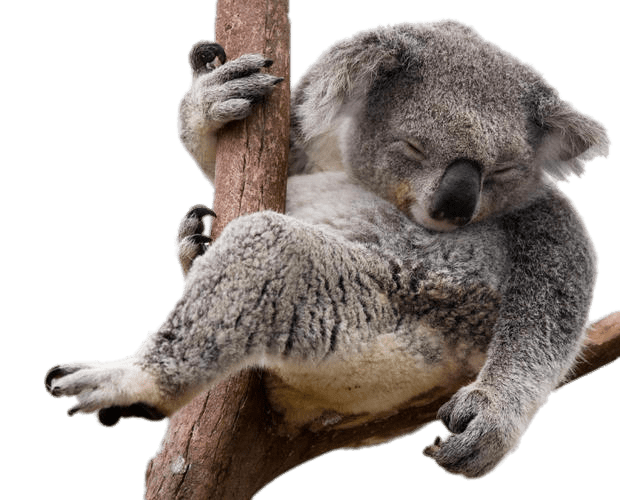 Koala bear png. Napping in eucalyptus tree