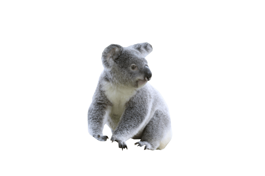 Koala png. Cute free images toppng