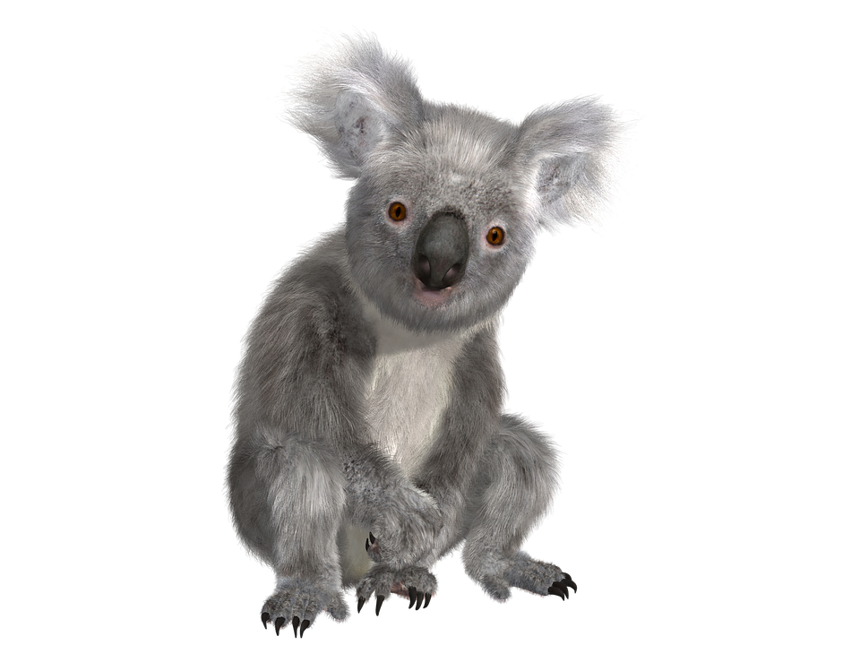 transparent koala background