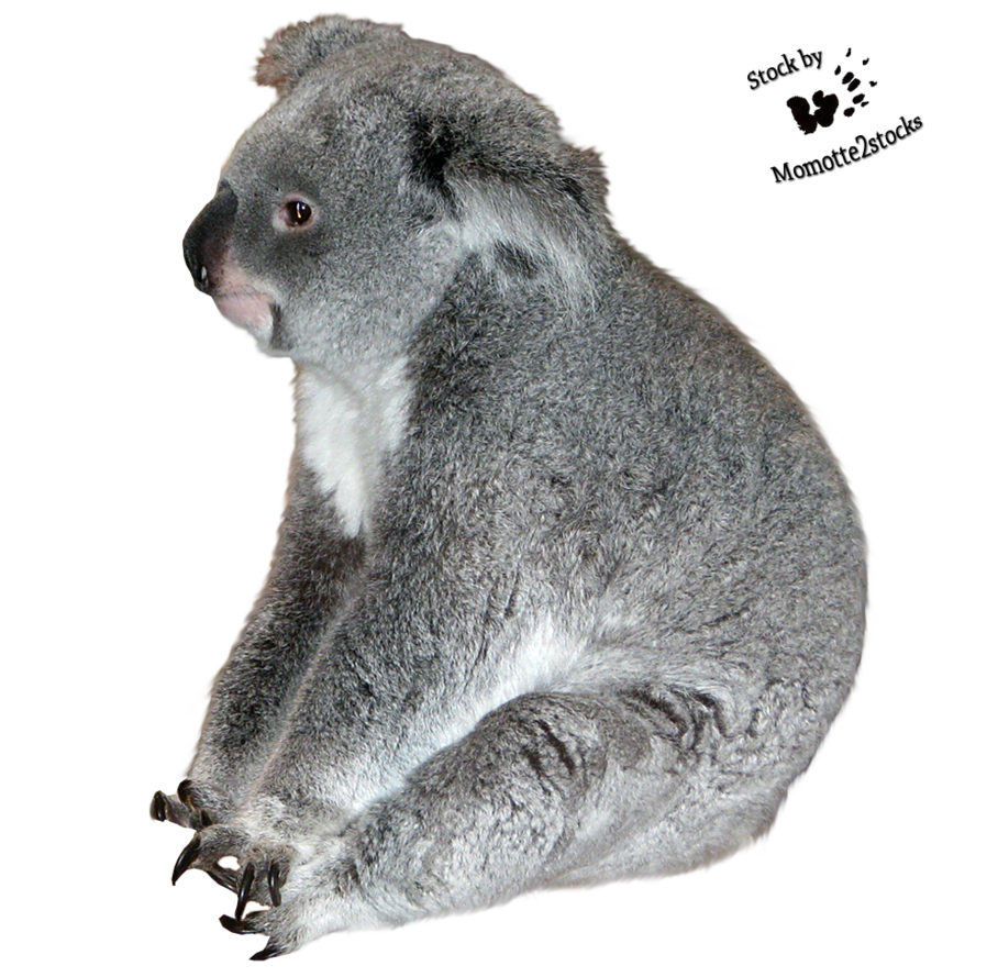 Transparent koala white background. Cut out stock png
