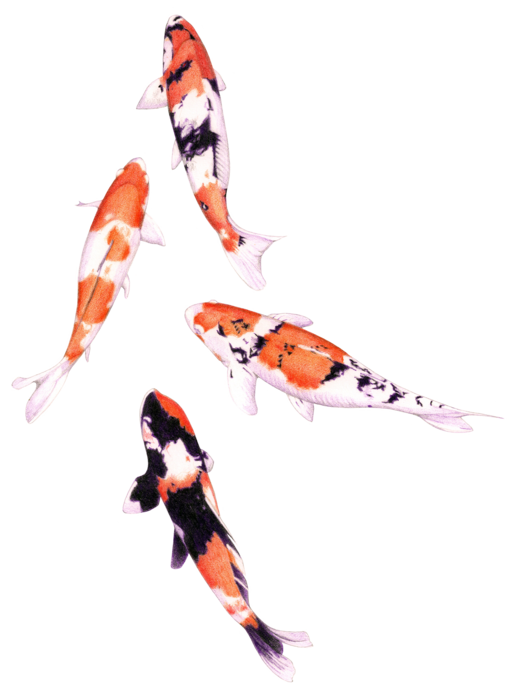 Koi fish png. Floating lemons white card