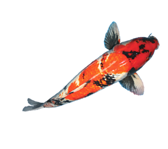 Koi fish png. New york