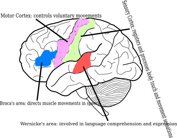 Label clipart brain. Diagram clip art at