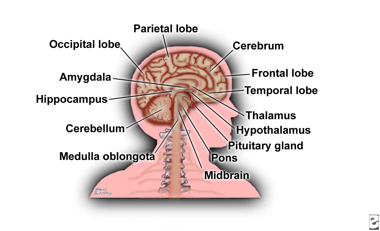 Label clipart brain. The anatomy diagram blank